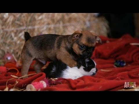 Grumpy Humphrey the Puppy Loves Kittens %7C Too Cute%3A Holiday Special