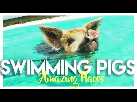 Would you swim with swine on your vacation