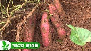 Trồng trọt | Bệnh thối dây, thối rễ trên cây khoai lang chữa bằng cách nào?