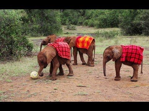 孤兒小象踢足球