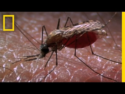 New Laser Zaps Mosquitoes in SlowMotion   National Geographic