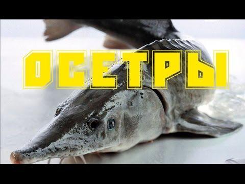 Волга осетр русский фото