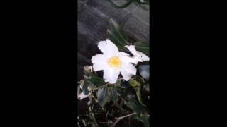 白い傘     歌/kayumai    楽譜動画