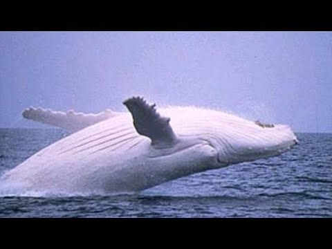 Rare White Whale Migaloo, The Australian Albino Humpback Whale Spotted Again