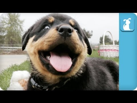 80 Seconds of Ridiculous Rottweiler Puppies