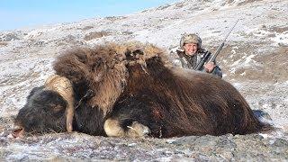 Polowanie na woła piżmowego z firmą www.globalhunting.pl Temperatura podczas polowania - 20 stopni - rejon Kangerlussuaq.