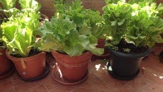 Como sembrar lechugas en tu patio