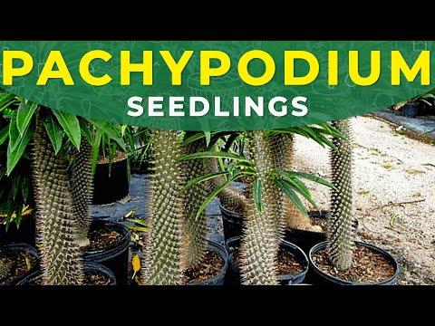 pachypodium planting (palmetta del madagascar)
