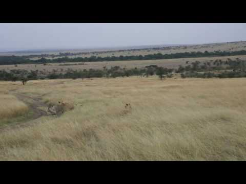 Video Merged.  Lion Hunt.  Masai Mara, Kenya download in MP3, 3GP, MP4, WEBM, AVI, FLV January 2017