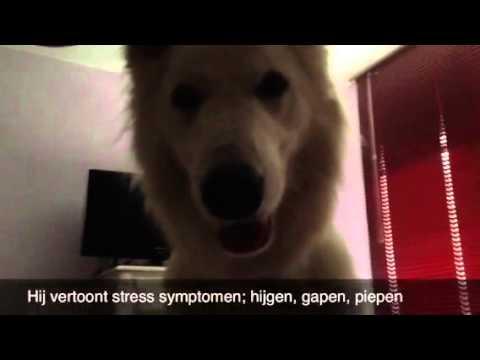 Seizure alert / medical alert dog in action. Warning me I'm going to have a seizure