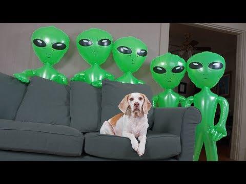 Dog Unimpressed by Alien Invasion: Funny Dog Maymo