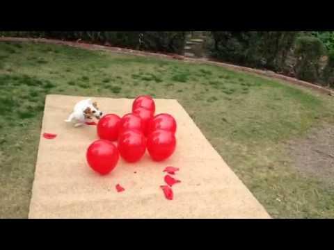 當這隻狗狗遇到一對氣球的時候做出了令人爆笑的舉動…