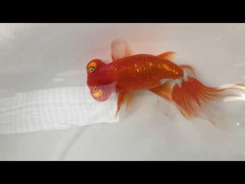 第23回金魚日本一大会 親魚の部 頂天眼 優勝魚
