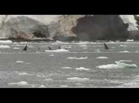 Orcas asesinas en la antártica