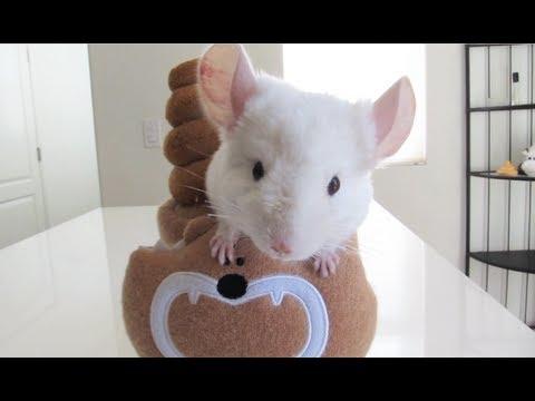 Chinchilla Poo Poo Bear Hideout!