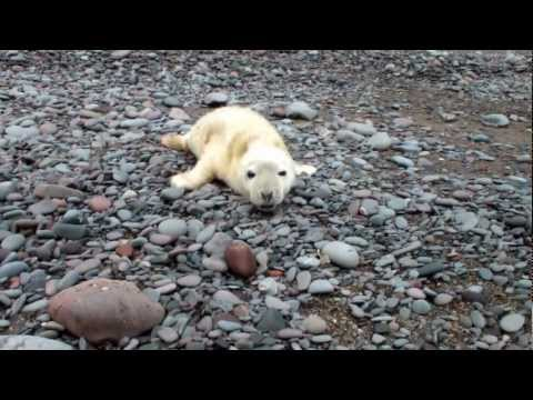 pup - grey seal pup on lumsdaine beach scotland october 2012.