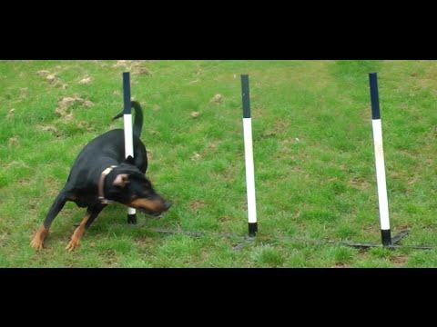 agility doberman!