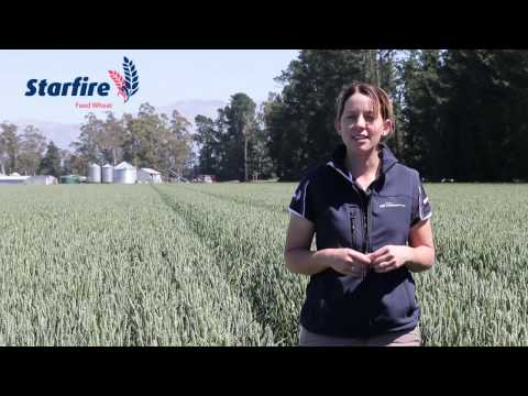 Starfire - Feed Wheat