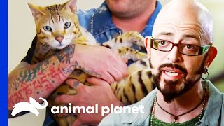 Escape Artist Savannah Cat Needs A Way To Burn Off Some Energy | My Cat From Hell by Animal Planet