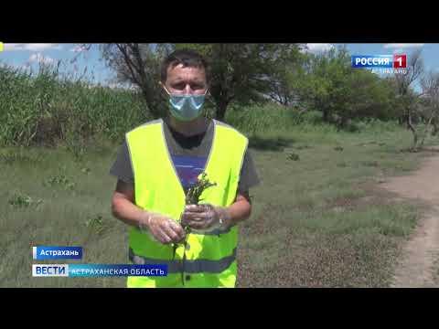 В Астрахани выявляют очаги чрезвычайно вредоносного для урожая растения