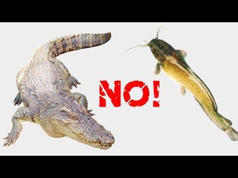 Cá sấu chê cá trê, cho tất cả các con vật ăn - Thời lượng: 29:56.