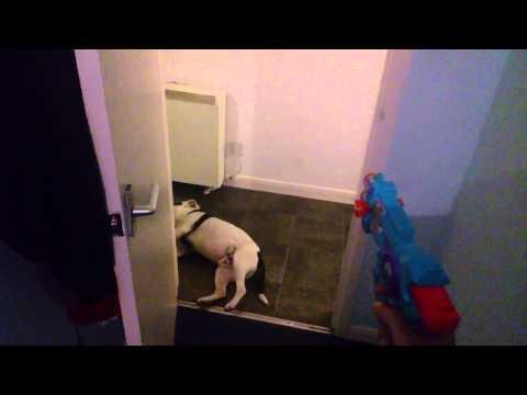 staffordshire bull terrier, un attore da premio oscar