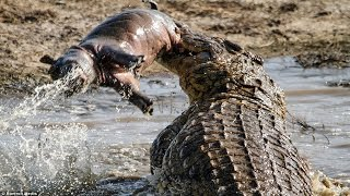 Crocodile eating : Hippo , boar , Turtle... |The Horrific Bites and Crushed Prey In A Flash.