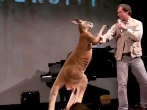Real boxing kangaroo (funny)