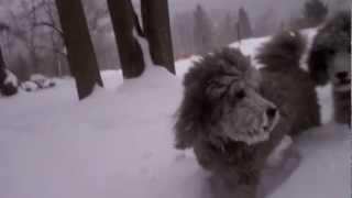 Poodles Love The Snowstorm