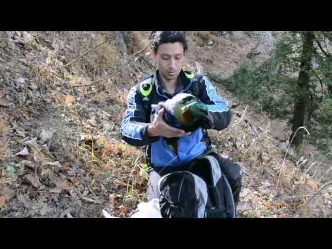 Rescuing Himalayan Monal (Manali)