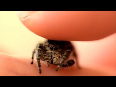 Man Pets Minuscule Jumping Spider It looks