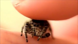 Video Petting my Phidippus Adumbratus Jumping Spider MP3, 3GP, MP4, WEBM, AVI, FLV Mei 2018