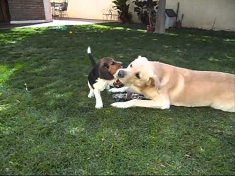 beagle e labrador: amore incondizionato!