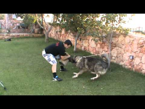 k9elite εκπαιδευση σκυλου σε φυλαξη χωρου.MPG