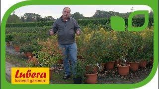 Der Vorteil grosser Pflanzen bei Heidelbeeren