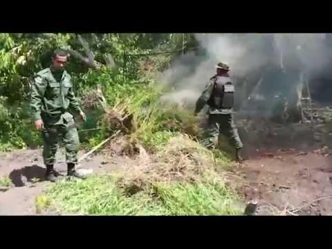 Operação Abacaxi destrói plantação de maconha em Maués