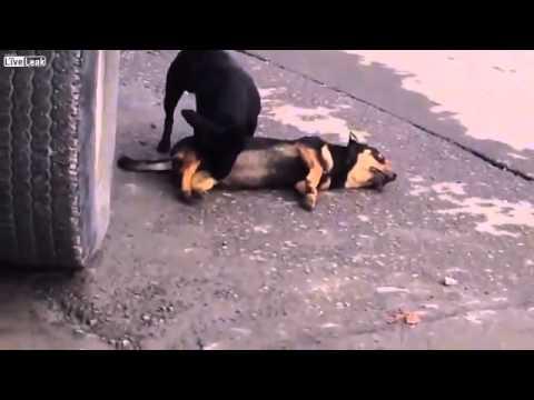 狗狗們也有友情的一面,他們也是動物!!