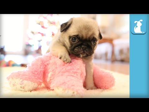 Cutest Pug Puppy Meets Stuffed Animal – Puppy Love