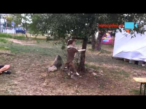 pes útočí na větev stromu