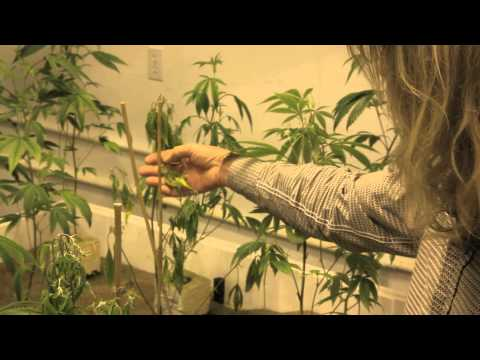 Grow Cannabis - Plants Dying Before Our Eyes - By Jorge Cervantes