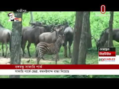 Zebra & Common eland gives birth of calf at Bangabandhu Safari Park (29-05-20) Courtesy: IndependentTV