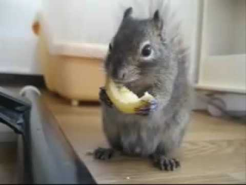Squirrel Eating a Lemon: CUTE!