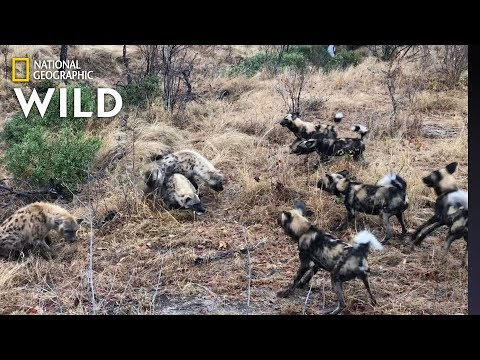 Hyena Clan Fights Off Wild Dogs and Steals Kill | Nat Geo Wild