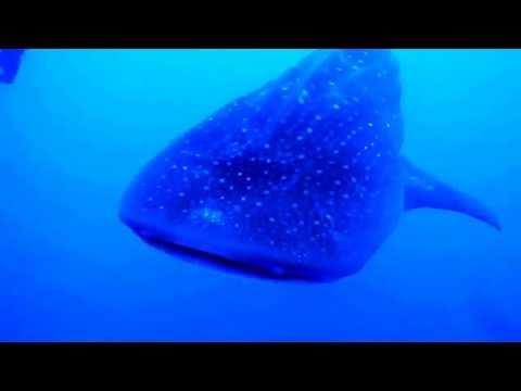 Dive Belize - amazing Whale Shark dive with Robert's Grove Beach Resort