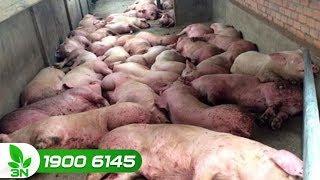 Nông nghiệp | Sự bùng phát dịch tả lợn châu Phi trên thế giới