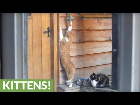 il-gatto-che-suona-alla-porta-per-avere-la-pappa