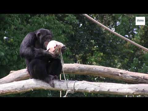 Magdeburg: Eis für die Affen im Zoo Magdeburg