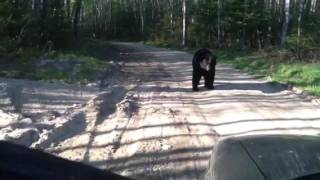 Video Black bear on our driveway video MP3, 3GP, MP4, WEBM, AVI, FLV Agustus 2017