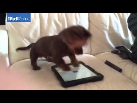 un cucciolo di bassotto che gioca con l'ipad