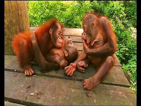 Little baby orangutans get scared